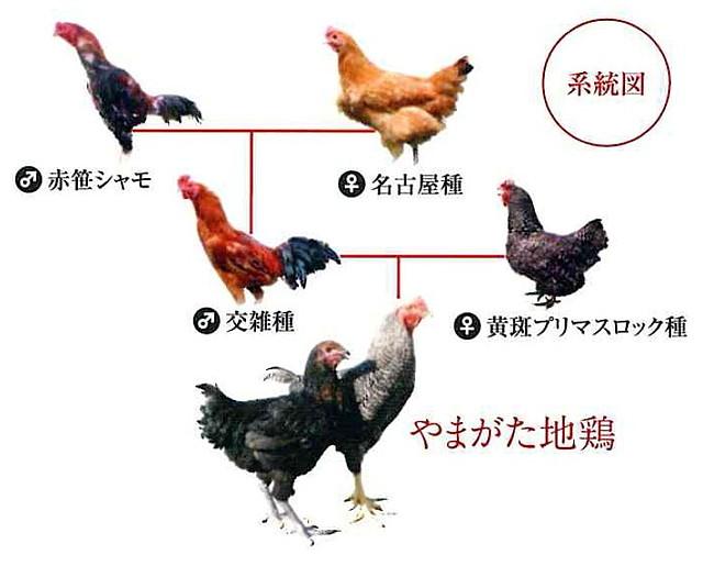 やまがた地鶏の誕生秘話